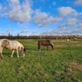 Horses in Port Meadow