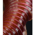 Nepenthes Peristome macro view