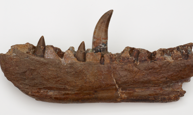 Megalosaurus jaw