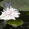 victoria cruziana - water lily